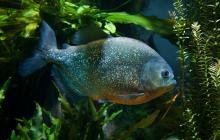 Red-bellied piranha (Pygocentrus nattereri).