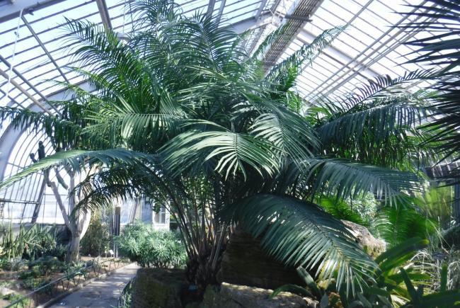 En haut du rocher, dans la serre d'exposition 7, Encephalartos villosus, un spécimen enregistré au Jardin botanique de Montréal en 1959.