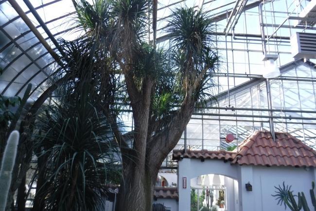 Ce tronc immense dans l'Expo 7, Beaucarnea recurvata, est un spécimen enregistré au Jardin botanique de Montréal en 1938.