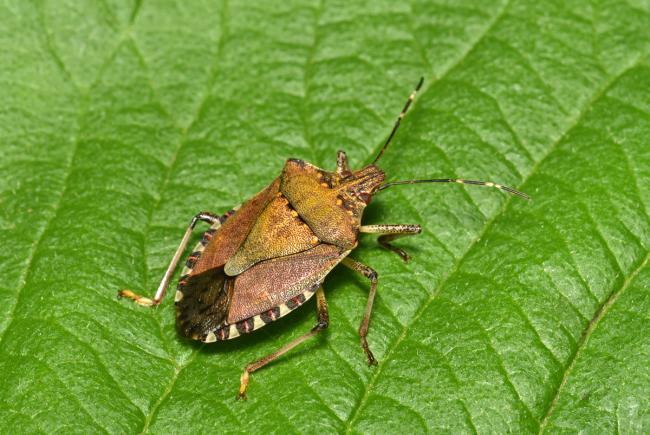 Adult of the brown marmorated stinkbug (Halyomorpha halys).