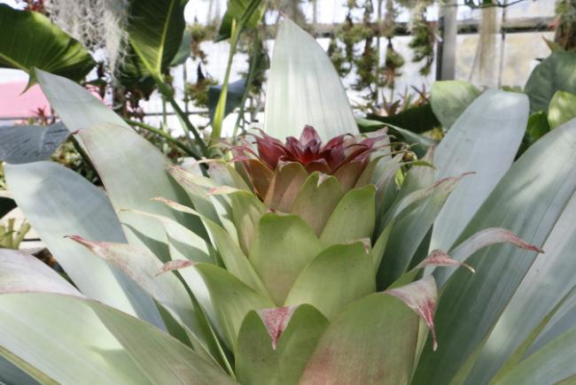 Alcantarea imperialis - flowering stages - 2017-03-20