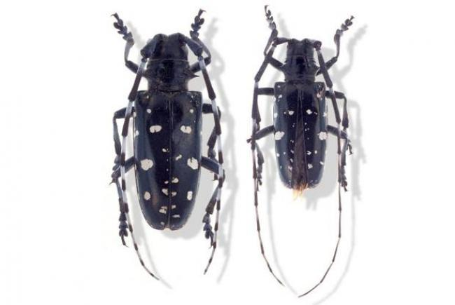 Visual 2 - Asian longhorned beetle (Anoplophora glabripennis) - Male on the right, female on the left