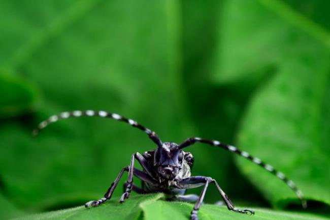 Visual 1 - Asian longhorned beetle (Anoplophora glabripennis)