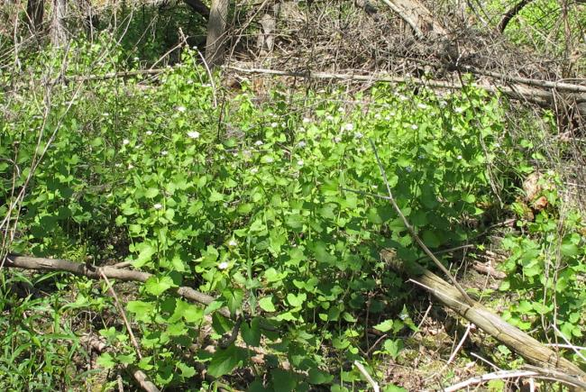 Dense clump of Garlic Mustard