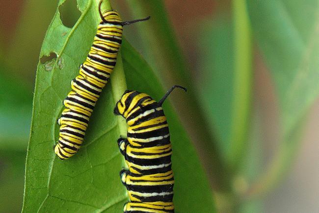 Monarch caterpillar on milkweed leaves.