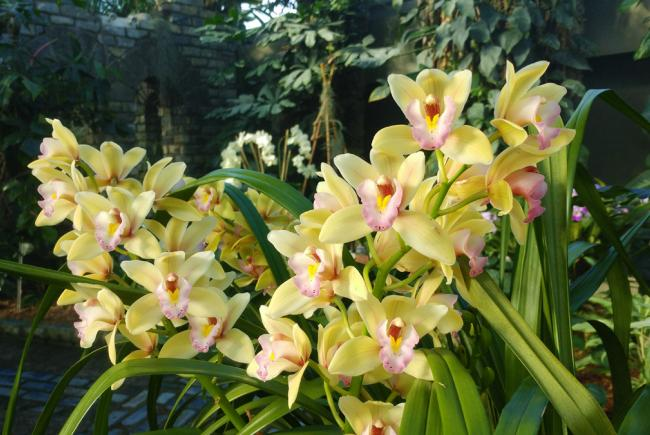 Cymbidium - Evening Star Pastel Princess 2