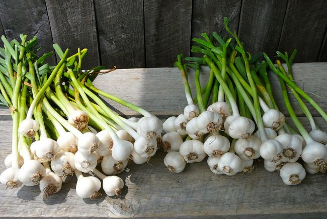 grow your own garlic blog space for life