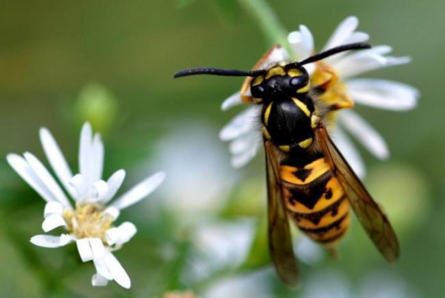 The German Yellowjacket (Vespula germanica) is a common species observed in Québec.