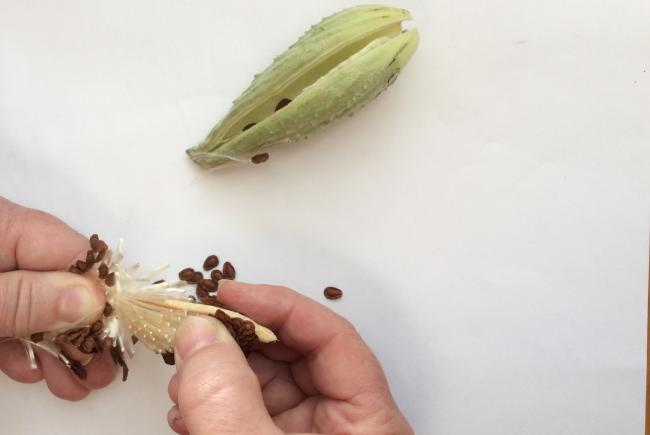 How to separate seeds from fluff.