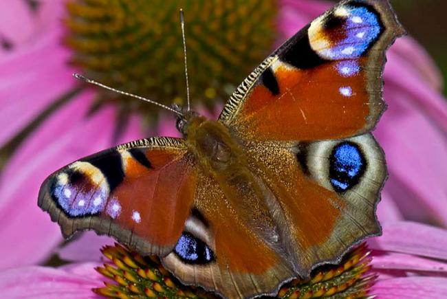 un papillon europen au qubec - Image De Papillon
