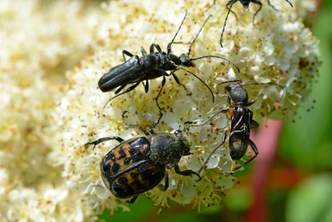 Three species of beetle taking part, unbeknownst to them, in the pollination of a cherry tree.