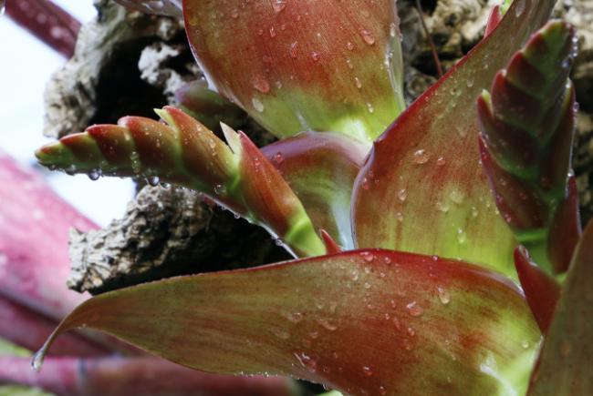 Alcantarea imperialis - flowering stages - 2017-04-14