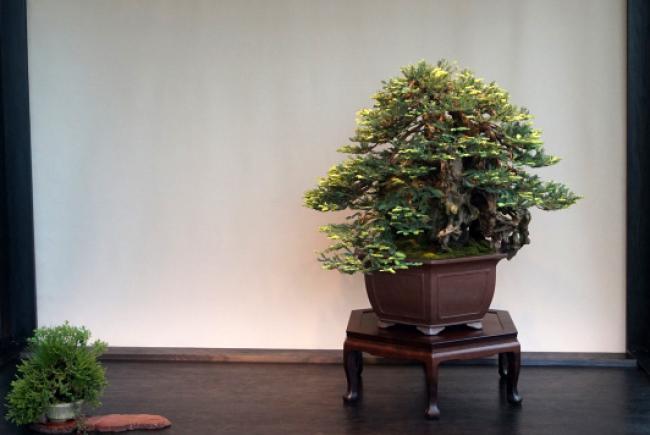 Sequoia sempervirent
