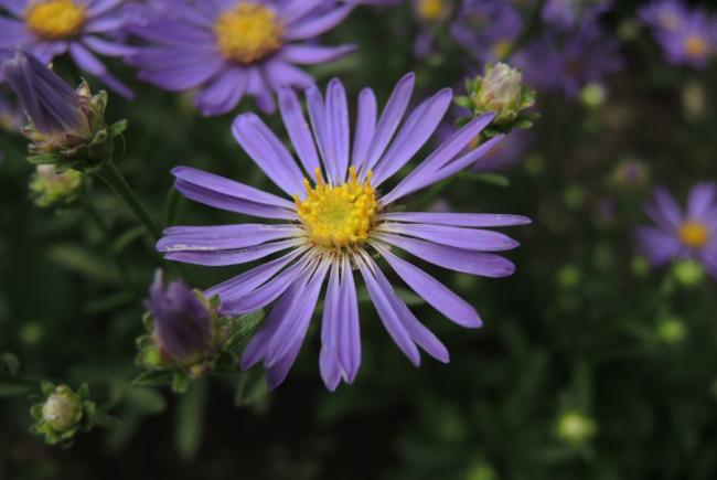 New England aster (Symphyotrichum Blue Autumn)