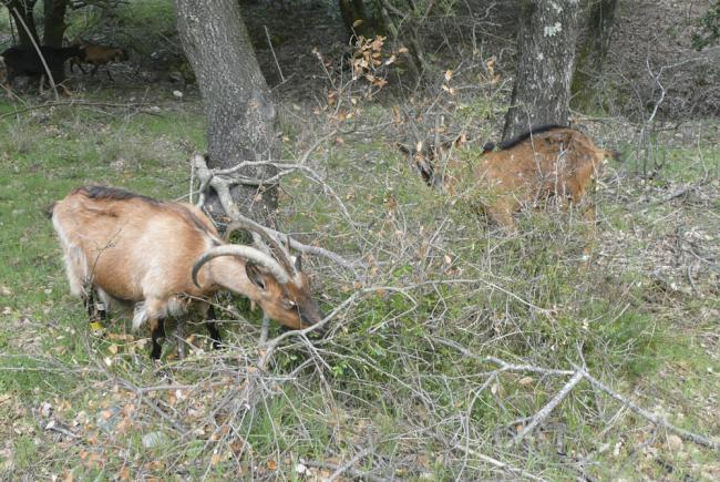 A goat grazing area in a green oak wood