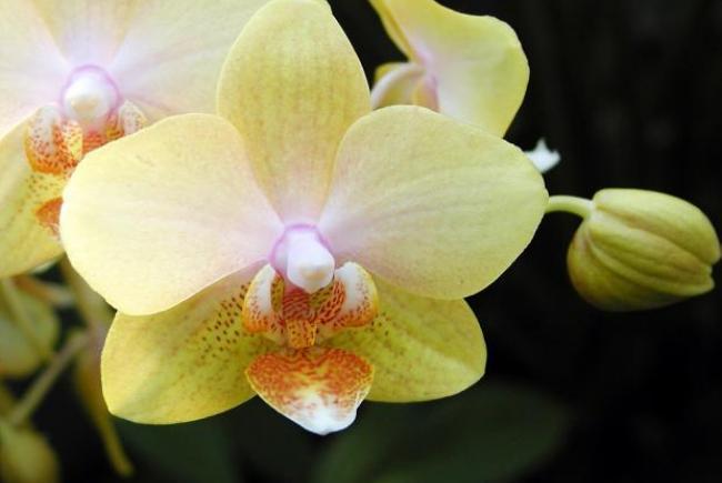 Phalaenopsis 'Leyte Gold'