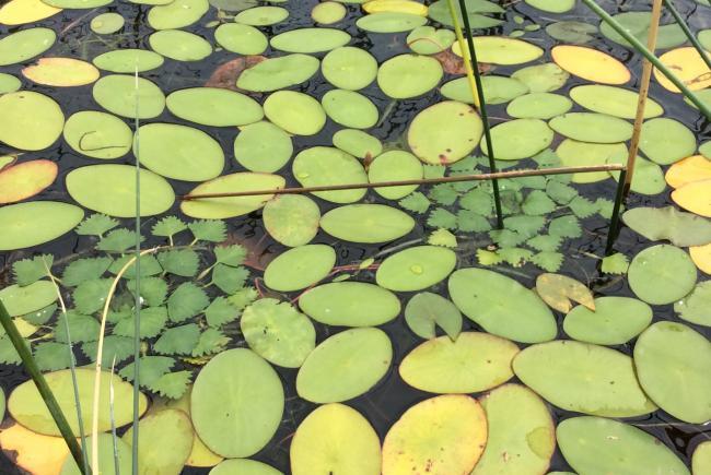Deux rosettes de châtaignes d'eau (Trapa natans) bien dissimulées parmi les plants de Brasenia – Île Jones 2020