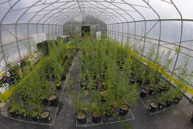 Greenhouse experiments to better understand the impact of growth environment on the chemical composition of willows.