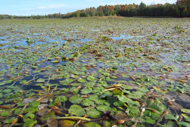 Rosettes de châtaignes d'eau (Trapa natans) portant des noix à l'automne – Parc provincial Voyageur (Ontario) 2013