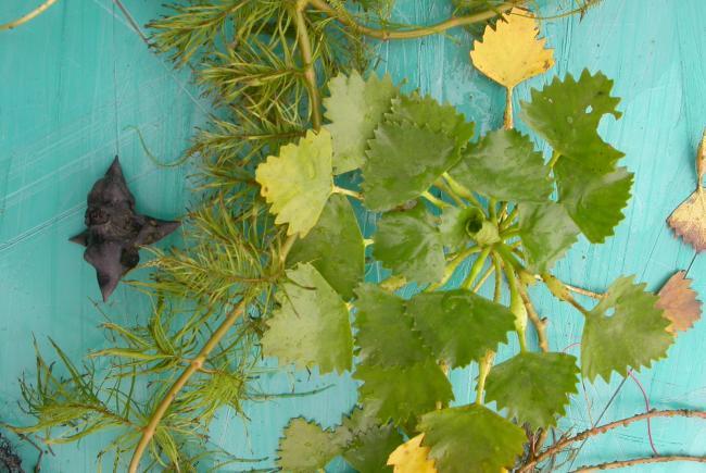 Noix, feuilles submergées et rosette flottante de châtaigne d'eau (Trapa natans) – Parc provincial Voyageur (Ontario) 2007