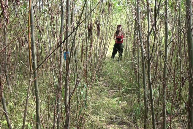Phytoremediation using willows on a contaminated site