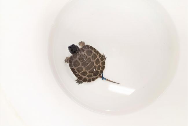 Vue rapprochée d'une des tortues visibles dans la Photo 1