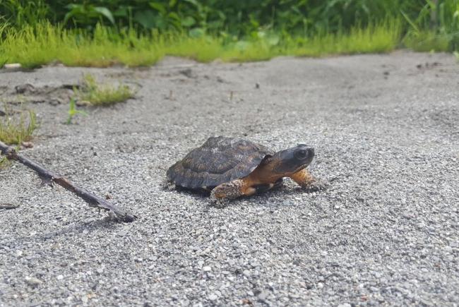 Une des 52 tortues des bois élevées au Biodôme et relâchées dans la nature depuis 2016.