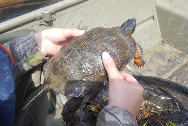 Une tortue des bois adulte sauvage, capturée pour examen et installation d'un émetteur. Le