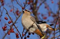 Jardin pour les oiseaux - Jaseur boréal © Pierre Ratté
