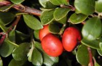 Arctostaphyle raisin-d