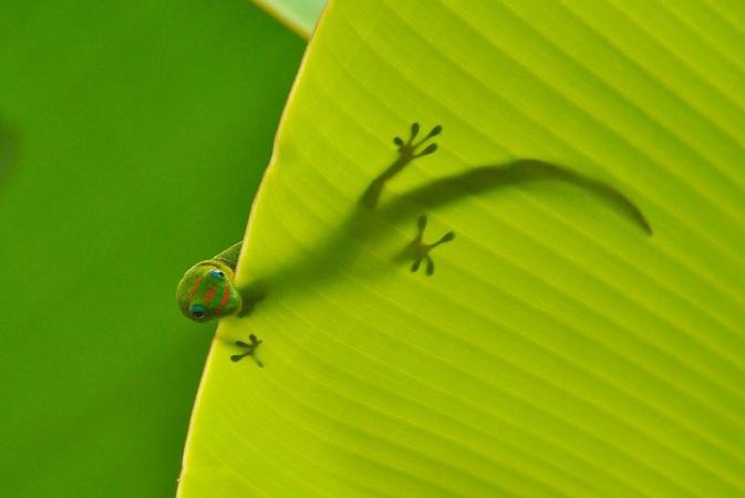 Gold dust day gecko (Phelsuma laticauda)