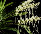 Angraecum longicalcar - Crédit photo : Les orchidées Marcel Lecoufle