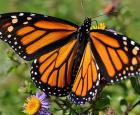 Papillon Monarque (Danaus plexippus) © André Sarrasin