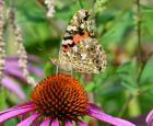 Papillon Vanesse © Insectarium de Montréal (Maxim Larrivée)