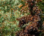 Monarch butterflies in Mexico
