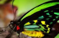 Ornithoptera priamus poseidon - mâle, Australie