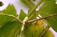 Visuel 6 - longicorne asiatique (Anoplophora glabripennis) – Dégâts alimentaires d'un adulte sur une tige