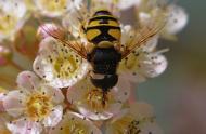 Les syrphes et les bombyles, de jolies petites mouches très utiles! - Carrousel