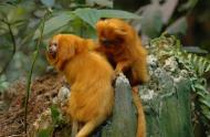 Un couple de tamarins-lions dorés