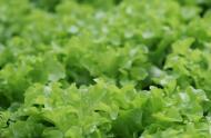 Lettuce © Espace pour la vie