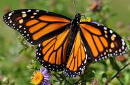 Monarch butterfly (Danaus plexippus) © André Sarrazin