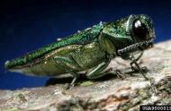 Adult emerald ash borer © Michigan State University (David Cappaert)