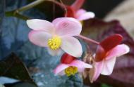 Begonia Rex, © JBM, Albane Le Nay