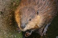 Par ses activités, le castor favorise la biodiversité, © Claude Lafond