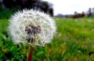 Dandelion (taraxacum) © cc Flickr (Simon-And-You)