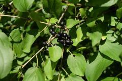 1- Fruiting buckthorn