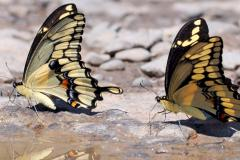 Two giant swallowtails