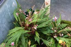 Begonia nosymangabensis