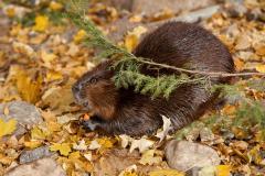 Beaver of the Biodôme in the fall.