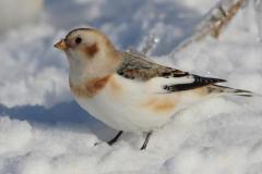 Bruant des neiges © concours photo (Normand Boucher)